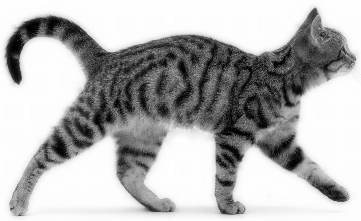 Brown spotted tabby male cat Lowlander walking along